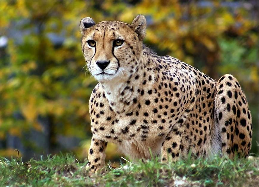 Гепард - большая кошка