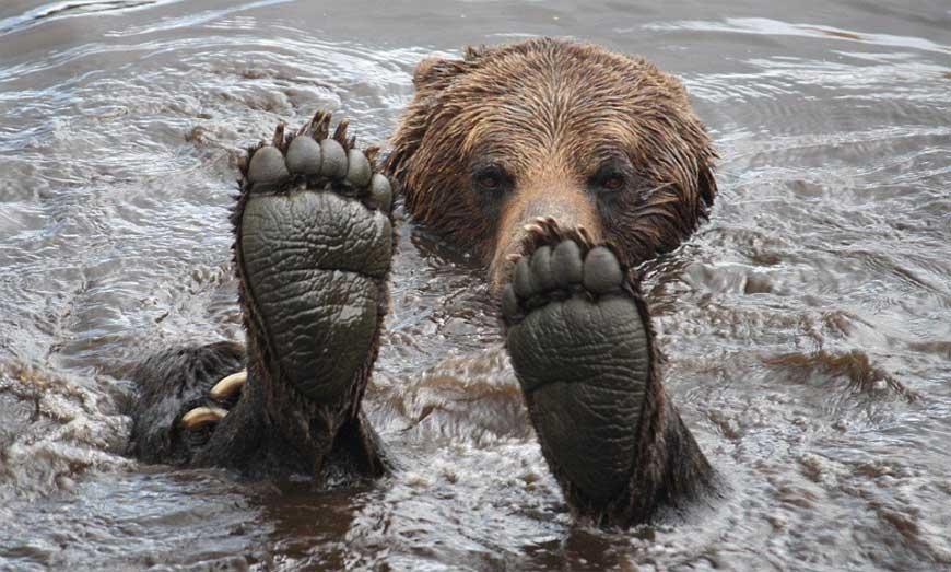 Медведь плавает и показывает лапы