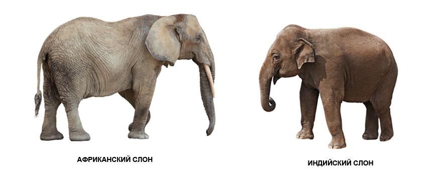 Слоны самые большие сухопутные животные