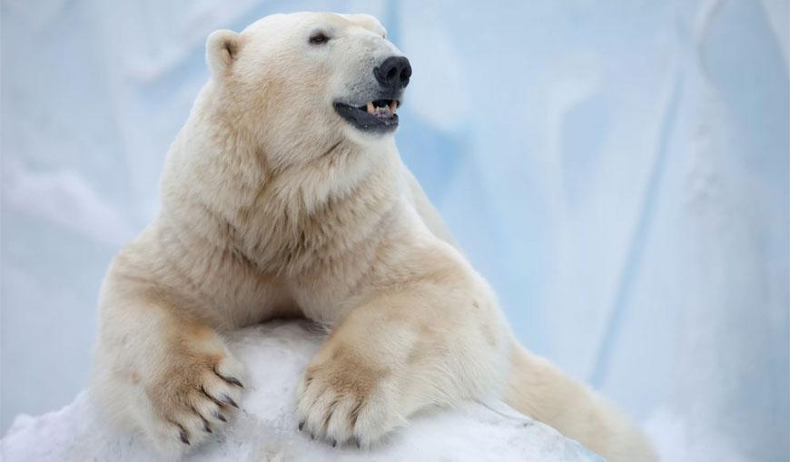 Белый-медведь