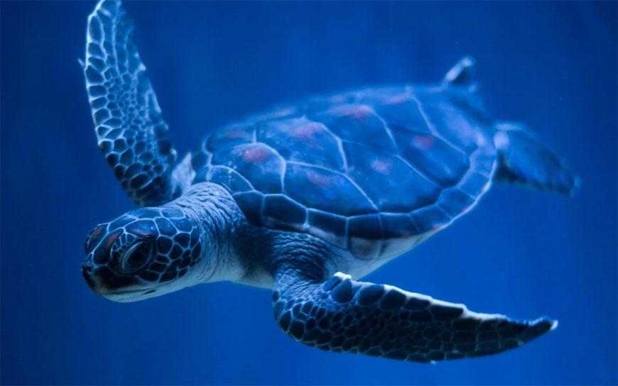 Морская-черепаха